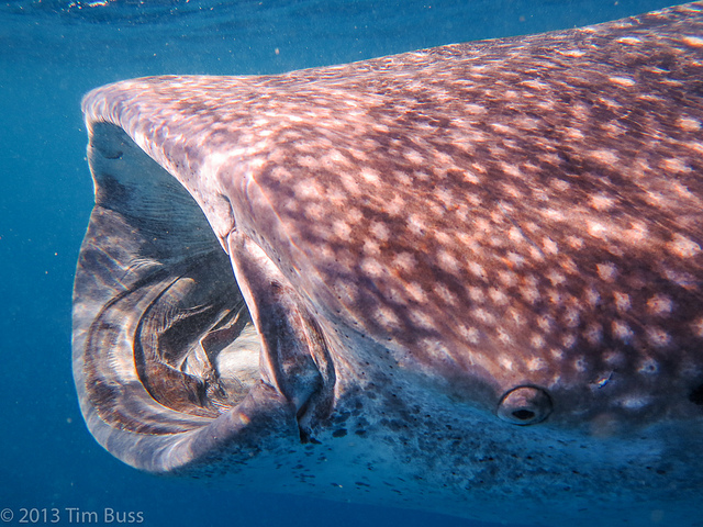 whale-shark-festival-riviera-maya