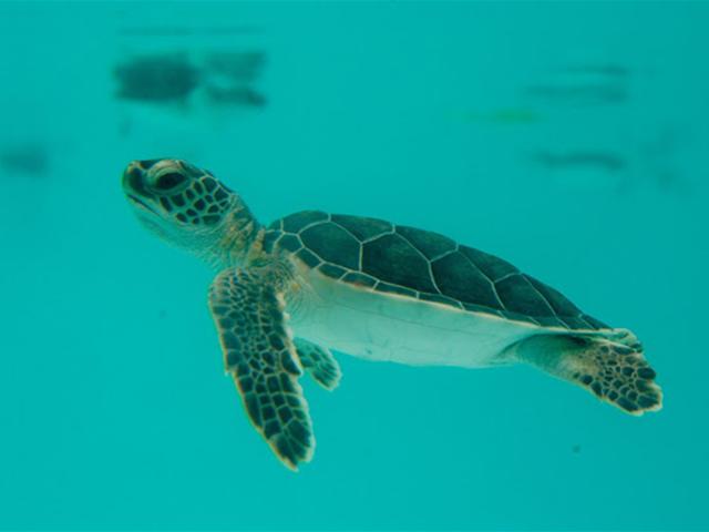 Tulum-tortuga-marina