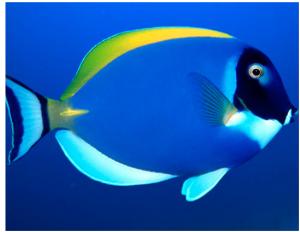 pez azul lindo