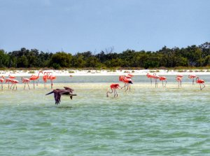 Flamingos-on-Isla-Holbox