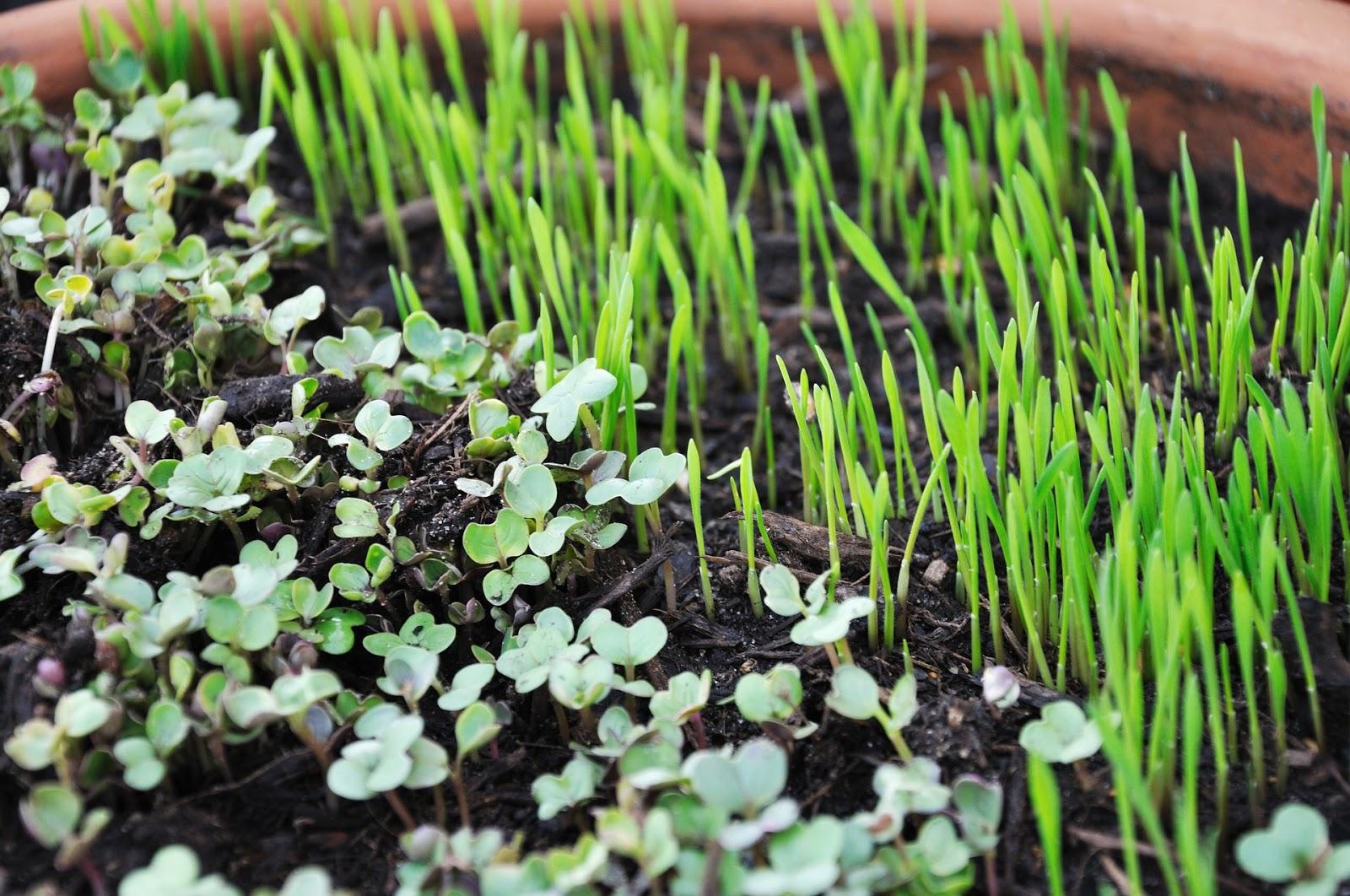 microgreens de brocoli y cebollín.